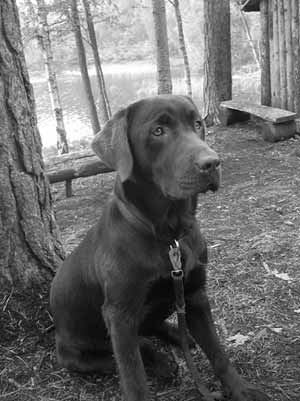 Foto: Madelene Wilhelmsson, Vår bruna labrador i Kolarebyn i Bengtsfors.