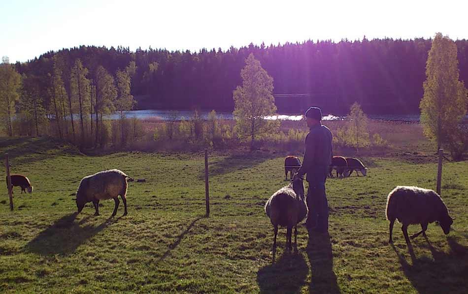 Foto: Madelene Wilhemsson, En stilla stund med fåren.
